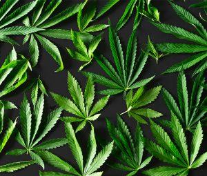 Canabis Plant
