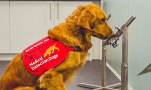 Dogs can detect covid-19 by sniffing