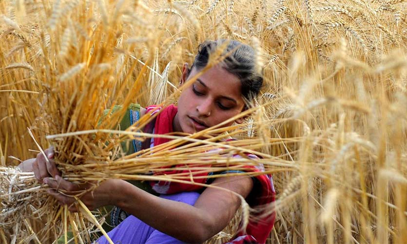 Centre Increases MSP For Rabi Crops Amid Protests